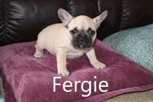 Precious Paws Puppy Patch - Fergie