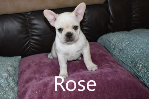 Precious Paws Puppy Patch -Rose